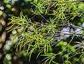 Melaleuca linariifolia in Eastwoodhill Arboretum (2).jpg