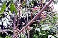 Melicope rubra syn. Evodiella muelleri (Little Euodia) - detail. Rainforest, Roma Street Parkland..JPG