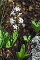 Menyanthes trifoliata Spechtensee 02.JPG