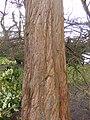 Metasequoia glyptostroboides DSCF5390.JPG