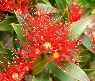 Rātā (Māori mythology) - Rātā gave the flowers of the rātā tree their colour