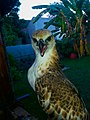 Mighty Eagle, 25112015.jpg