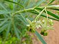 Milkweed (Gomphocarpus fruticosus) flowers (11874356546).jpg