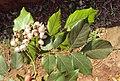 Millettia pinnata aka Pongamia pinnata 07.JPG