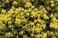 Mimosa (Acacia) (3364016380).jpg