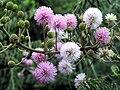 Mimosa diplotricha Family Mimosacea.jpg