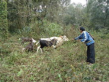 Mithuns being fed salt in Arunachal Pradesh.JPG