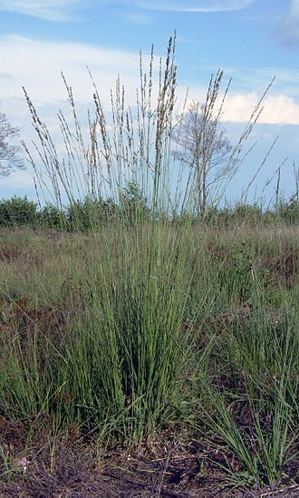 Molinia caerulea - Habitus