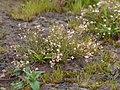 Mollugo pentaphylla (4943530373).jpg
