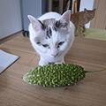 Momordica charantia (Bitter melon) and a kitten.jpg