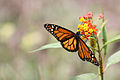 Monarch butterfly Arenal.JPG