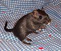 Mongolian gerbil - Black male 4-1-05.jpg