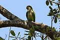 Monk parakeet (Myiopsitta monachus).JPG