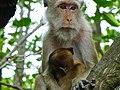 Monkey in Thailand 2013 0607.jpg