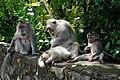 Monyet Antri.jpg