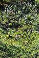 Moss - Grimmia pulvinata (24306426300).jpg