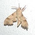 Moth 0091.jpg