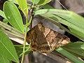 Moth IMG 7728.jpg