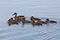 Mother Duck with her Growing Ducklings (7526385196).jpg