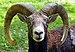 Mouflon Corse.jpg