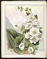 Mount Cook lily - Ranunculus Lyallii. (1890-1896). by Emily Cumming Harris.jpg