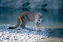 Mountain Lion in Grand Teton National Park.jpg