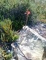 Mountain fynbos with Aloe decumbens.jpg