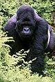 Mountain gorilla in Rwanda.jpg
