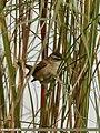 Moustached Warbler (Acrocephalus melanopogon) (34059756006).jpg