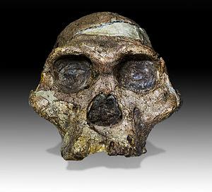 """Australopithecus africanus - Skull of """"Mrs. Ples"""", Australopithecus africanus; Transvaal Museum Pretoria."""