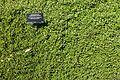 Muehlenbeckia complexa - VanDusen Botanical Garden - Vancouver, BC - DSC07402.jpg