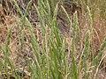 Muhlenbergia glomerata (3880613629).jpg