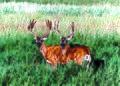 Mule deer (20465316515).jpg