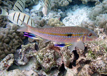 Mulloidichthys flavolineatus at cleaning station