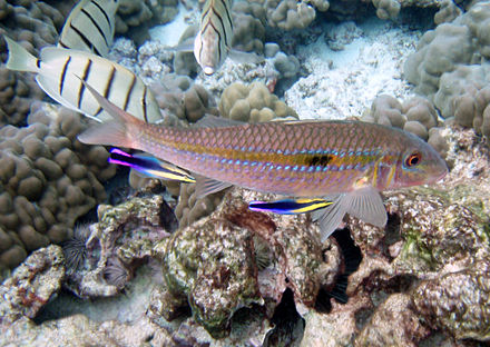 Two cleaner wrasses, Labroides phthirophagus, servicing a goatfish, Mulloidichthys flavolineatus - Fish diseases and parasites