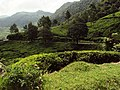 Munnar Tea Plantations - panoramio (2).jpg
