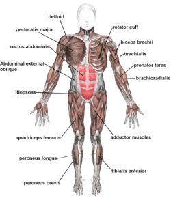 Muscular system - Wikipedia, the free encyclopedia