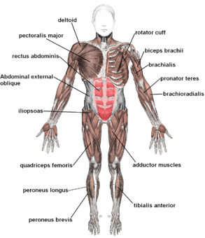 Labeled Muscle Diagram Human Body