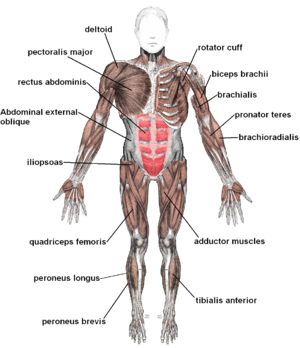 Muscular system - Image: Muscles anterior labeled