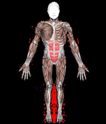 Skeletal Muscle Wikipedia