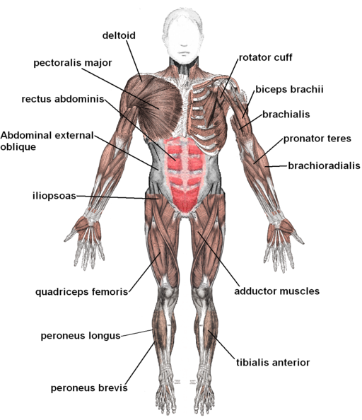 the muscular system | medical terminology for cancer, Cephalic Vein