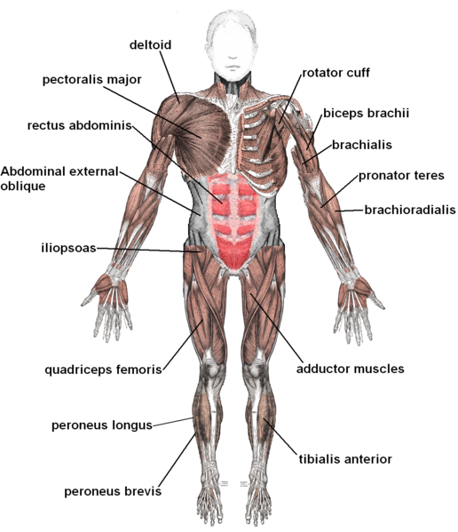 File:Muscles anterior labeled.png