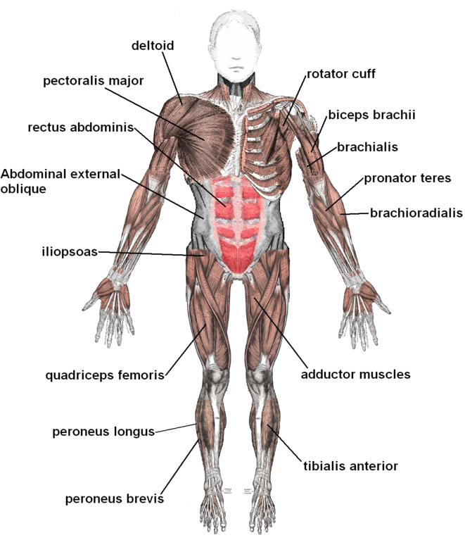 File:Muscles anterior labeled.png - Wikimedia Commons