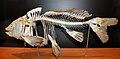 Muzeum Ewolucji PAN - szkielet karpia (Common carp, Cyprinus carpio).JPG