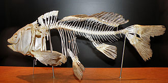 Common carp - The skeleton of a common carp.