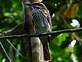 Myiodynastes maculatus -Manizales, Caldas, Colombia-8.jpg
