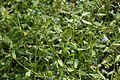 Myosotis sparsiflora (Boraginaceae) (27006192306).jpg