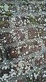 Myriolecis albescens 54854525.jpg