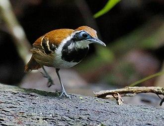 Ferruginous-backed antbird - female at Presidente Figueiredo, Amazonas state, Brazil