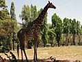 Mysore Zoo 2.jpg